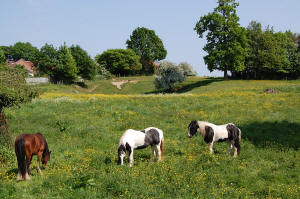 Horses at Old Catton