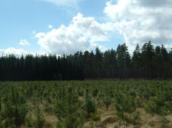 Young Conifers in Thetford Forest